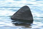 Basking Shark Fin