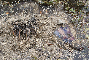 Maggots - Beware the Jub Jub Bird
